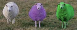 green purple sheep